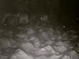 Erzurum'da aç kalan kurtlar köye indi